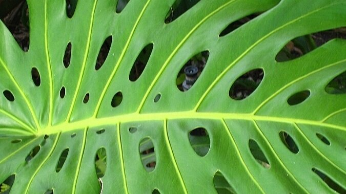 Monstera deliciosa leaf. Photograph by Carl E Lewis from Flickr.