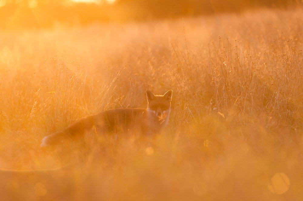 Southern England Winner - Sunset Fox - Dan Rushton - In Support of The Wildife Trusts
