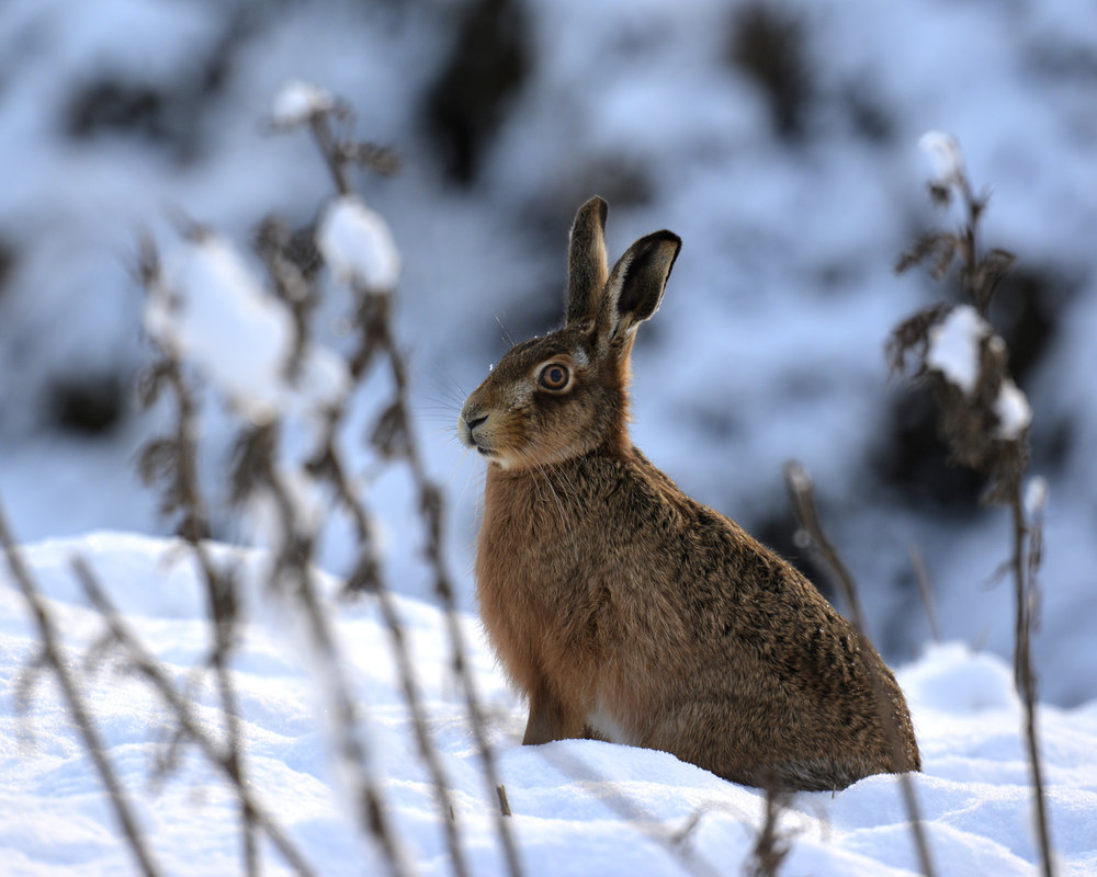 Northern England Winner - Brown Hare In Snow - Sarah Hanson - In support of The Wildlife Trusts