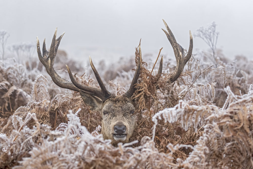 Frosty Stag - Jayne Bond - In support of The Wildlife Trusts