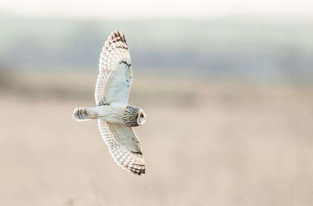 'Grace' - Short-eared owl (Asio flammeus) - Paul Elliott - In Support of Shelter