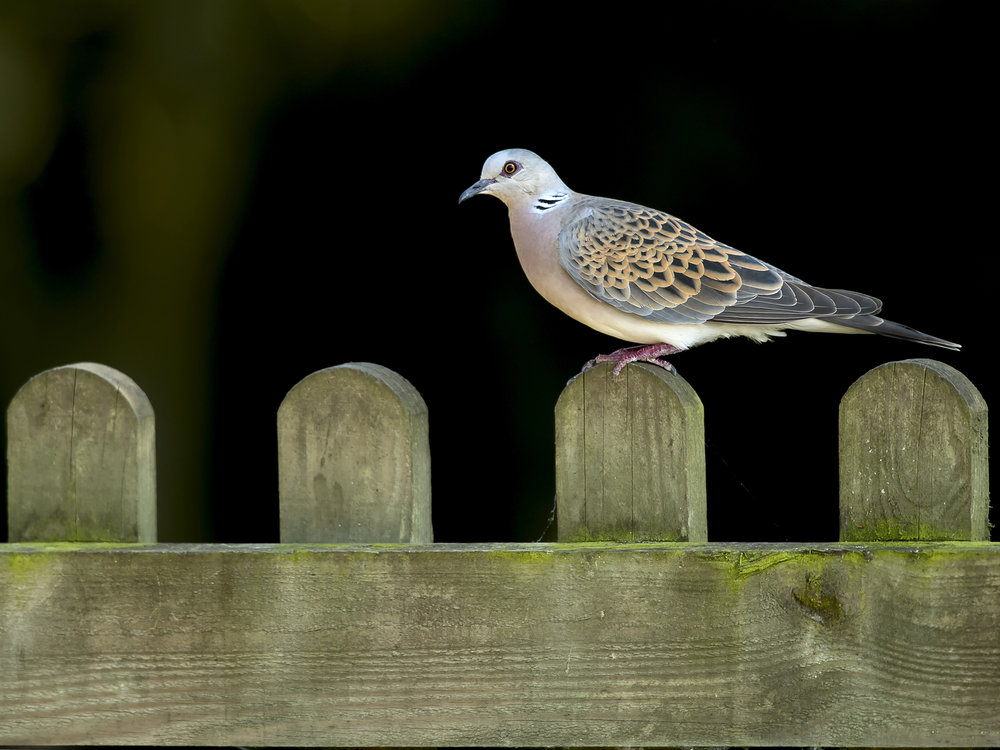 Central England Winner - Turtle Dove - Mark Ollett - The Wildlife Trusts