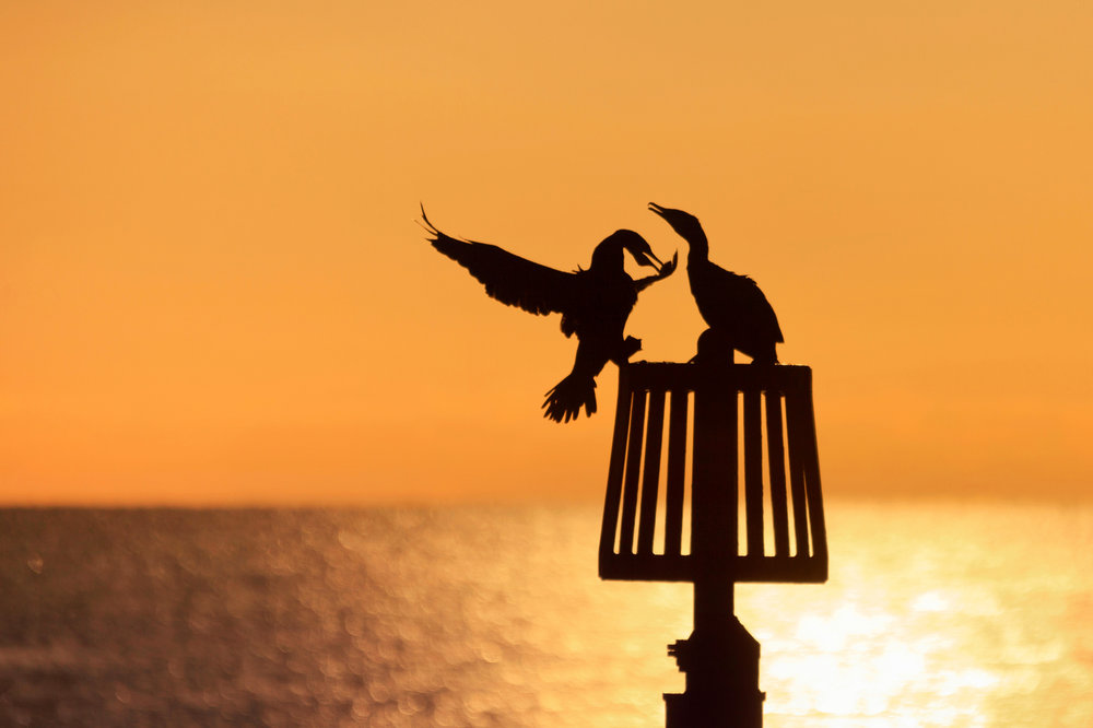 Cormorant Couple - Richard Beech - In Support of Shelter