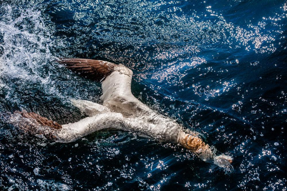 Diving Gannet - Virginia Wilde - In Support of the Wildlife Trusts