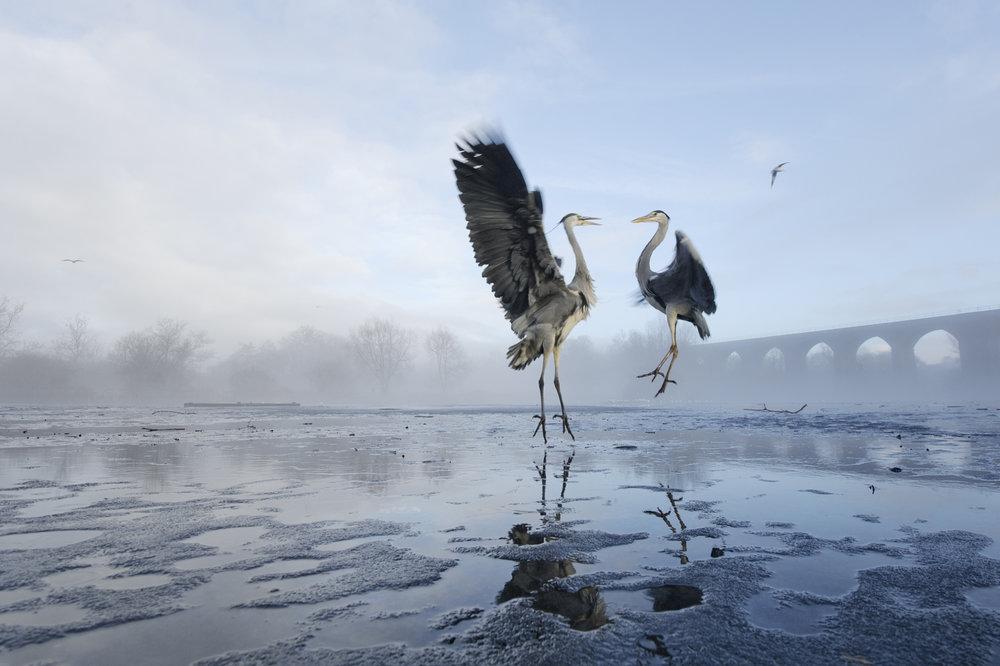 Northern England Winner - Grey heron (Ardea cinerea) - Terry Whittaker - In Support of 10:10