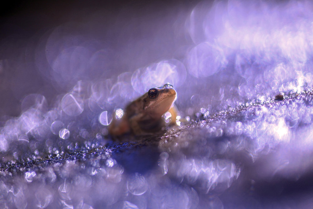 Frog In the Rainstorm - Ian Wade - In Support of Rainforest Concern