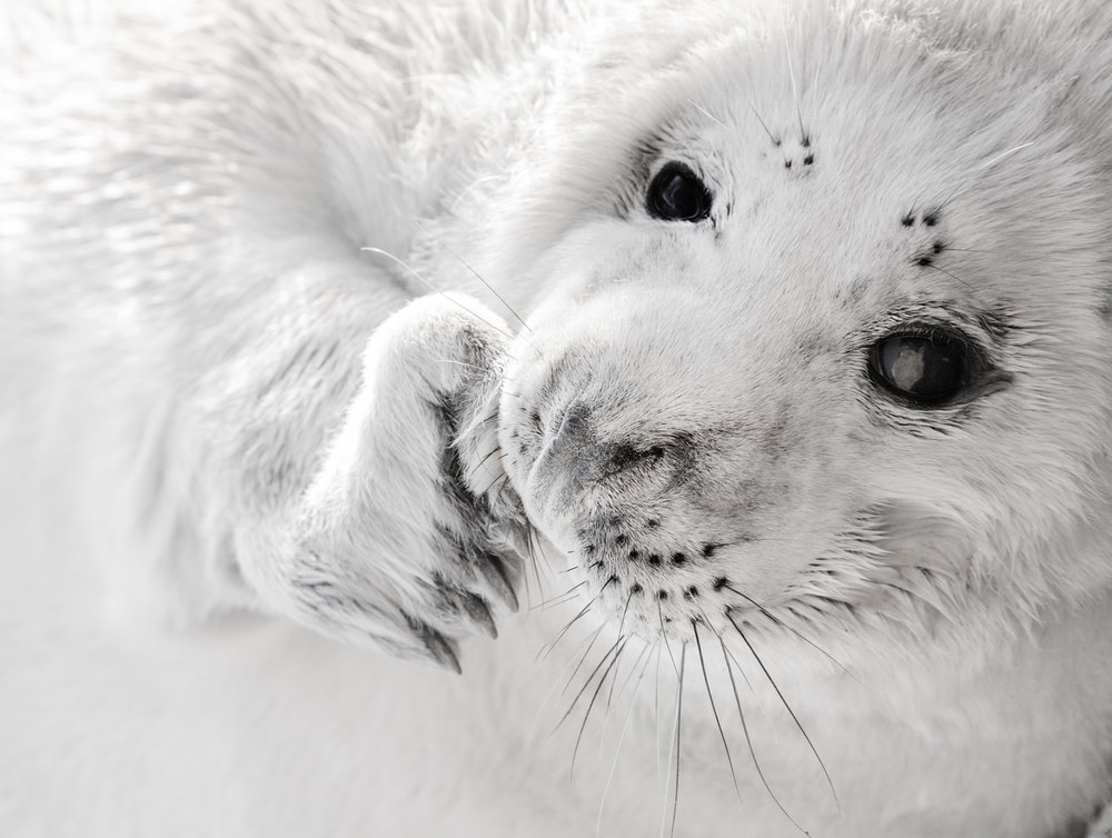Grey Seal Pup - John Moncrieff - In support of Help for Heroes