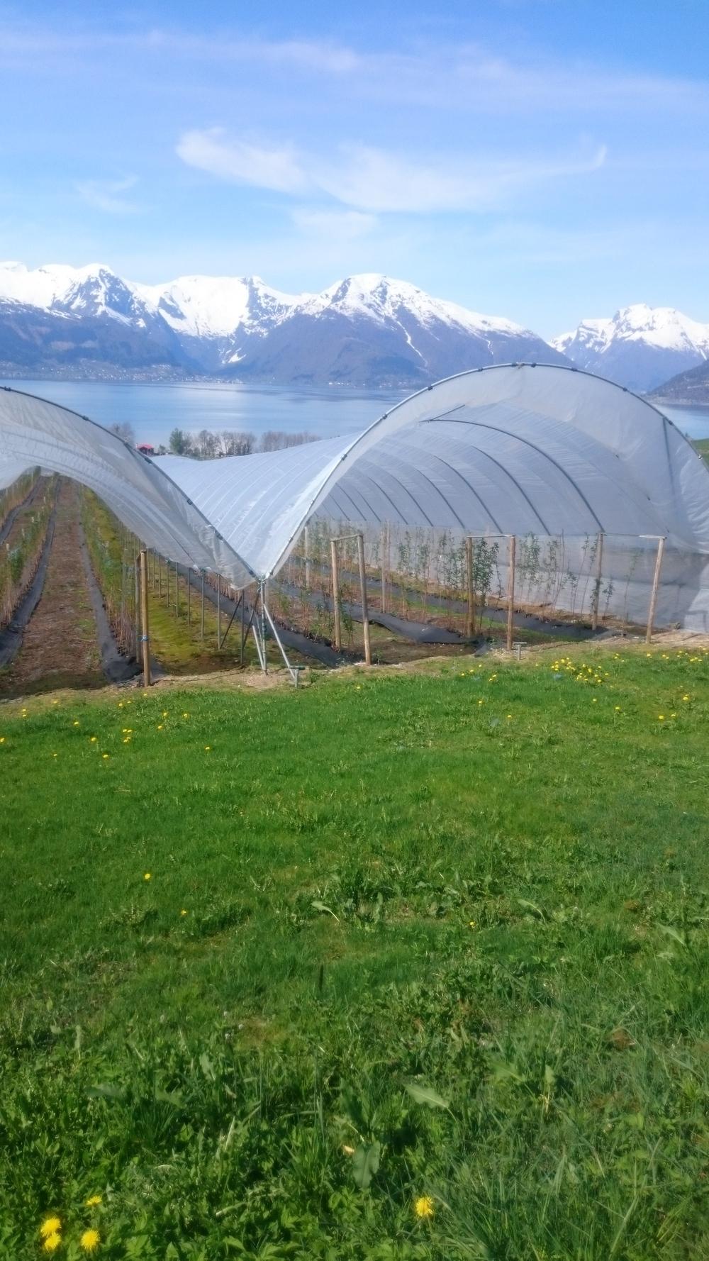 Med plasttunnelar blir sesongen lengre, bæra mindre vêrutsett og butikkanefår ein tryggare leveranse. Her fra garden til Ola Hopperstad på Vangsnes i Vik.