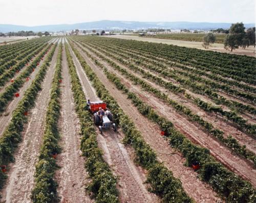 Vineyard+shot+P&J+cherry+picker.jpg
