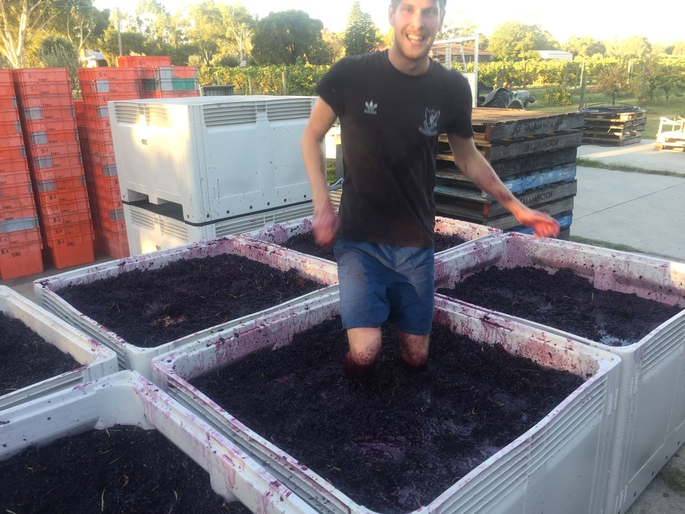 Crushing Shiraz grapes. Our PT Reserve Shiraz is crushed in three stages for a more complex flavour.