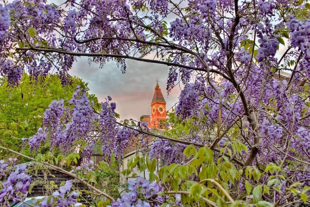 Abbot Hall through the Wisteria