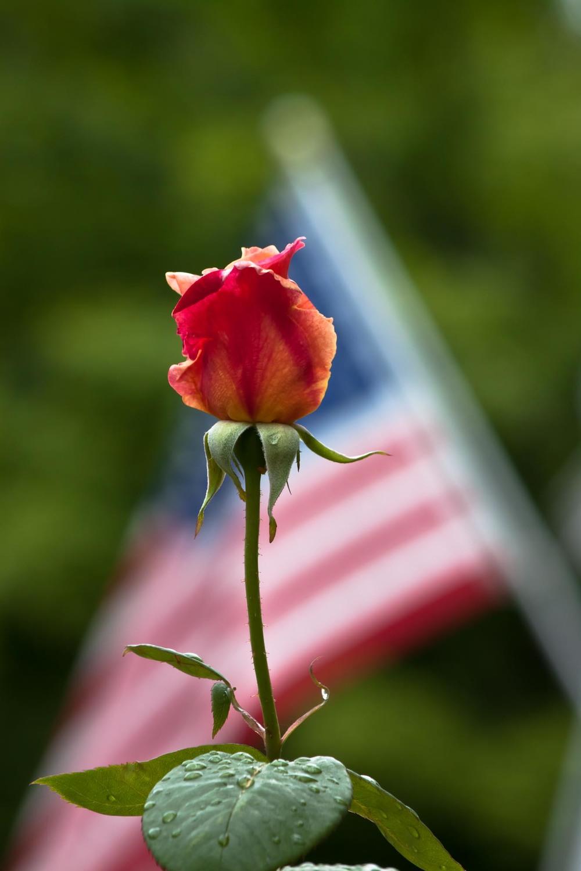 """""""American Rose"""""""
