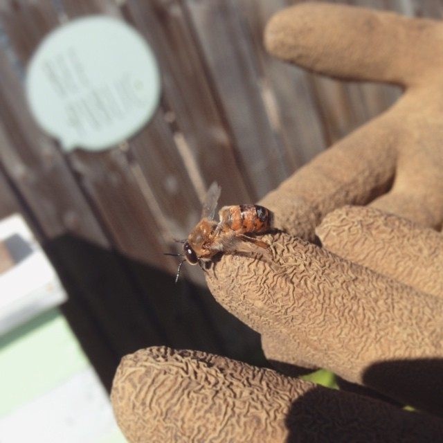 Intern Britney entertains a drone, or male bee. Drones don't have stingers and generally don't do chores in the hive. Their function is to mate with the queen. In other news, we saw a baby bee being born today. #beepublic (at Growing Places Indy Slow Food Garden at Cottage Home)