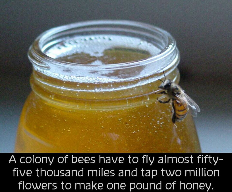 youngeyesignite: losers-count-sheep: Even though pollen is the honeybee's primary source of nutrition, honey is their sole food source during cold weather and other times when alternatives are not available. Bee pollen: pollen collected by bees; their primary source of nutrition. Royal jelly (bee milk): the pharyngeal gland secretions of the nurse bees. The queen larvae receives more of the royal jelly than the worker larvae, growing her into a queen bee. Beeswax: secreted by bees to help build their hives. Propolis: a brownish resinous material of waxy consistency collected by bees from the buds of trees and used as a cement and an antiseptic. Cruelty in the Honey Industry Common practices in the honey industry are: To prevent the queen bee from leaving the hive, honey producers sometimes cut off her wings. Often, queen bees are artificially inseminated. Large commercial operations sometimes take all the honey instead of leaving enough for the bees to get through the winter. The honey is than replaced with a cheap sugar substitute. Most beekeepers remove all the spring-season honey. In colder areas, some bee keepers will burn the beehives, killing all the bees inside, before the winter starts to reduce cost. Bees are often killed or harmed by haphazard handling. Bees are hardworking animals who deserve to keep the labor of their work. Stealing products from them is a form of exploitation, which should and can be easily avoided. Honey can be replaced by agave syrup, rice syrup, barley malt, maple syrup, molasses, sorghum or fruit concentrates.  Can we talk about this for a second? Because we're going to. This is ONLY addressing large commercial beekeepers and completely disregarding all of the small, local beekeepers. Yes, many of these practices are common with big industry beekeepers who are hauling trucks of hives across the country to the almond fields in California. It's largely thanks to these folks abusing miticides and mishandling their bees that we are struggling with Colony Collapse Disorder (in addition to dangerous pesticides and fungicides). An important note here is that these people are making the majority of their profits from pollination, not from selling you mass-produced honey. It just isn't cost-effective anymore to sell honey on a huge scale, and less and less big-time beekeepers are doing it. Now, let's go back to your local beekeeepers, shall we? These practices have nothing to do with most local, small beekeepers. In fact, it's these people we have to thank for nurturing our struggling bee population. Particularly beekeepers who are going the organic route! There's no need to cut off wings if you are working on a small enough scale to be conscientious of your hives' activity. You know when your queen is going to go out on her first flight and when a swarm is imminent. You are READY with an additional box for your bees, an ideal, safe home for them. You don't take honey until your bees are overproducing, and you leave enough honey for the winter. If you took it all away you wouldn't have bees the following year—a huge dent to a small operation! I have never met a small-time beekeeper who didn't have some reverence for their bees. They do everything within their power to ensure their bees have the best possible conditions to produce far more honey than they need, to grow in population, to thrive: sunlight, protection from the elements, protection from natural predators (such as bears), placement in the best gathering ranges, minimal interference (hives only need to be checked every couple weeks), extra sustenance in the winter if it proves particularly difficult, etc. They have a mutually beneficial relationship with their bees. In addition to functioning as guardians for bees, local, organic beekeepers are focused on breeding a better bee, called hygienics, that are able to detect and remove pupae infested with the varroa mite (the biggest factor behind CCD). This is in contrast to big-time beekeepers who abuse miticides and perpetuate a weak bee that is unable to survive on its own. In many cities, I am hearing that there aren't even wild swarms to be found anymore. Without the aid of local beekeepers, we could lose our bees. These are the people vying for policy changes, these are the people fighting for bees. When you stop buying honey, you stop supporting them.