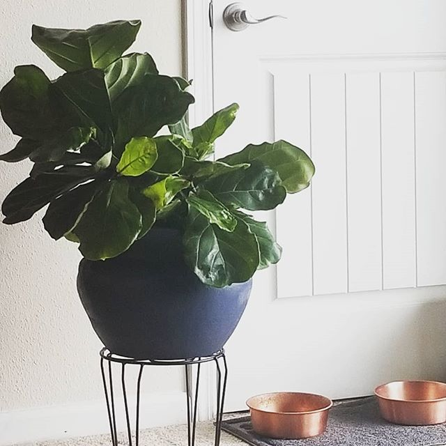 If you guys only knew the love and worry I have put into this beauty for the last month... But I'm working on my green thumb... So far, so good; all of my plants are happy! . . . Bomb Christmas present from @itsmeemilyp