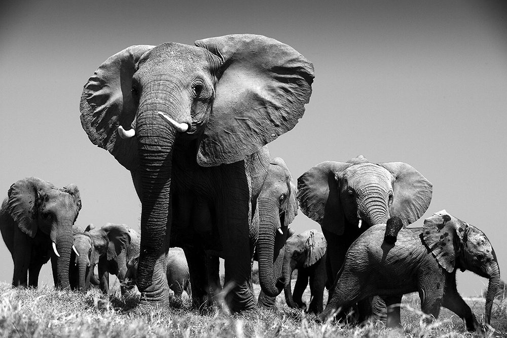 Elephants-in-Africa.jpg