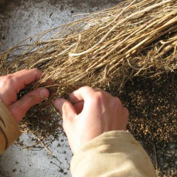 Seed-picking.jpg
