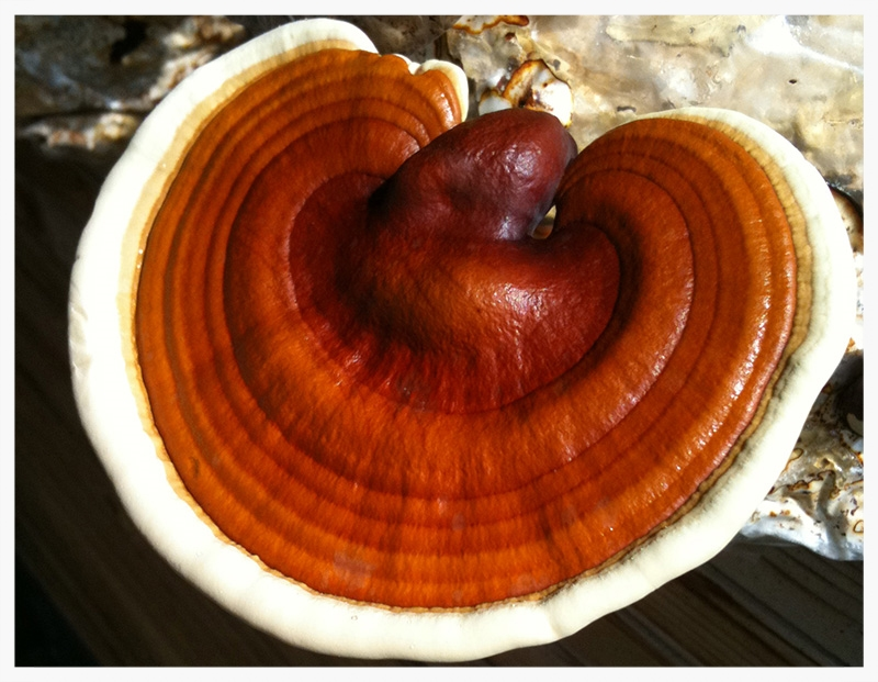 ganoderma-lucidum-single.jpg