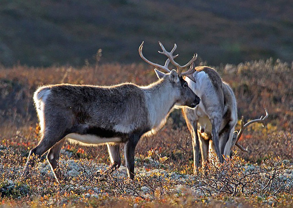 norway-reindeer.jpg