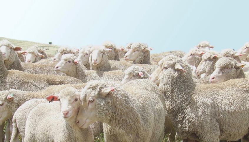 sheep-846x481.png