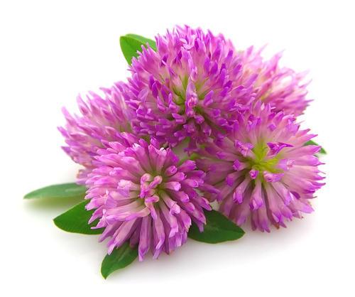 red-clover-extract-trifolium-pratense-l-500x500.jpg