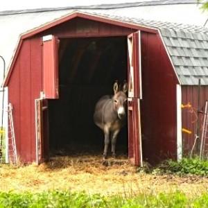 Rodale_donkey2