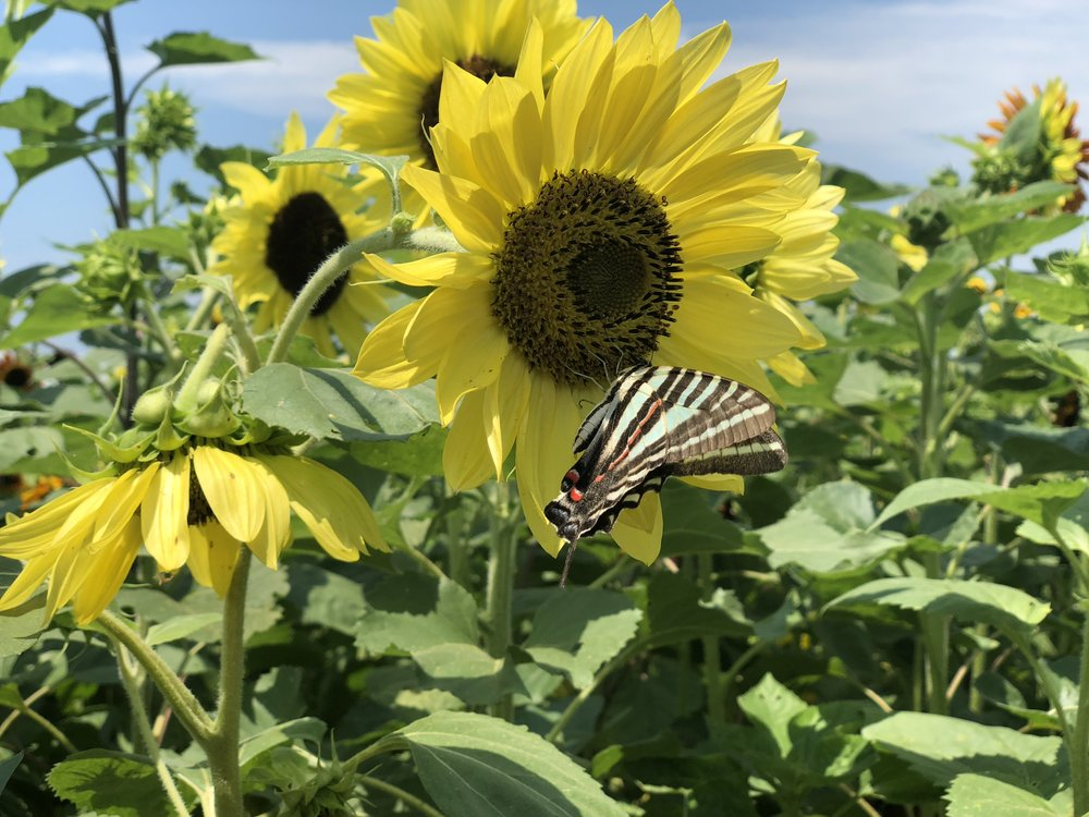 A zebra swallowtail rests on a sunflower while collecting nectar
