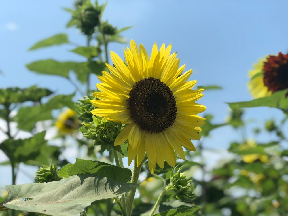 Ladybugs Alive! offers a sunflower maze, a petting zoo and other activities for visitors young and old.