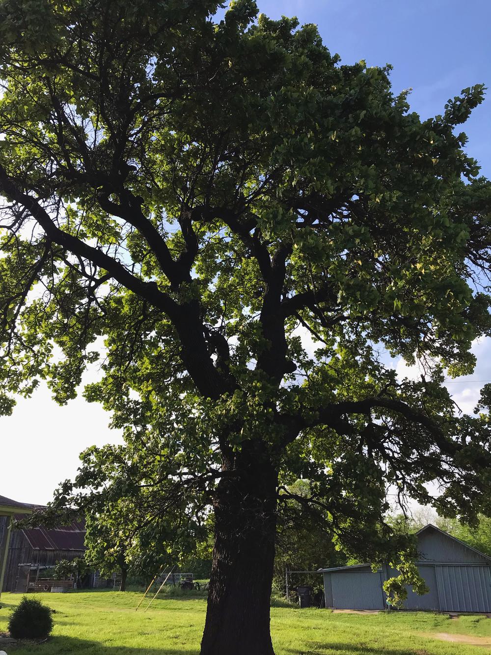 The beautiful, towering Blackjack Oak at the end of the long dirt drive | Broken Arrow, Oklahoma