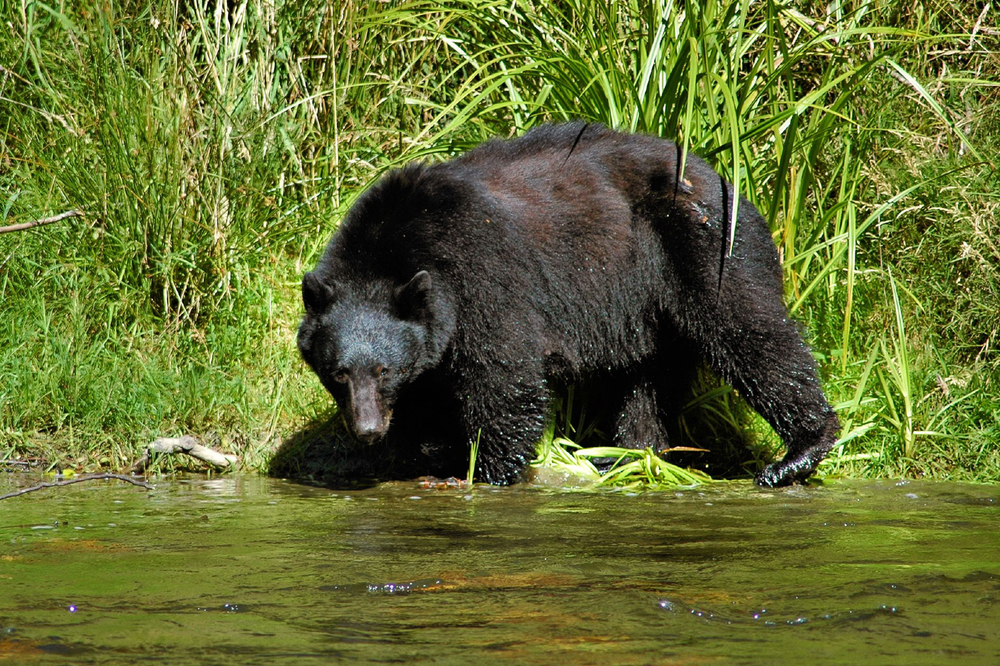 GRIZZLY BEAR VIEWING, Grizzly bears are found on the mainland, just a couple of hours boat ride from Campbell River. Make a day of it, and watch the Grizzlies fish, eat and play in their natural habitat along coastal rivers. The grizzly bear expedition is 7-8 hours long.