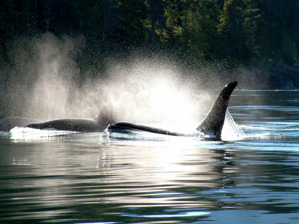 WHALE WATCHING,  Witness the magic and majesty of whales and other marine life in their natural wild environment.  The squeaks, squeals and whistles of the killer whales are guaranteed to give you goosebumps.  Tours are 6-7 hours long and depart a few times a day.