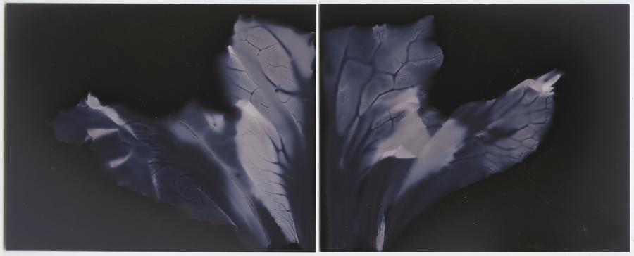 """Cauliflower Leaves No. 1 (Diptych), 2013. 5x4"""" silver gelatin paper negatives"""