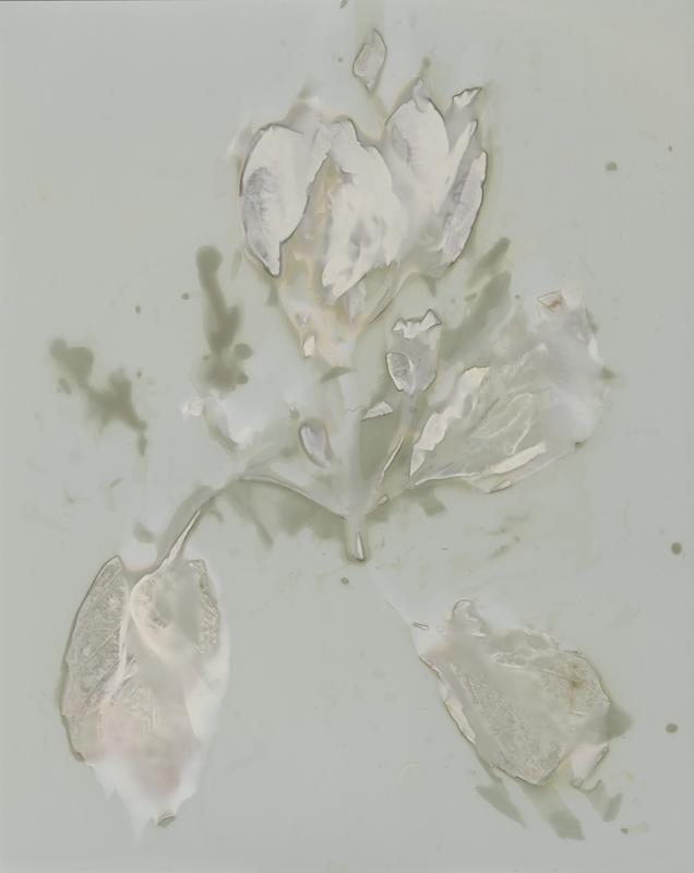 "Basil No. 1, 2013. 8x10"" silver gelatin paper negative"