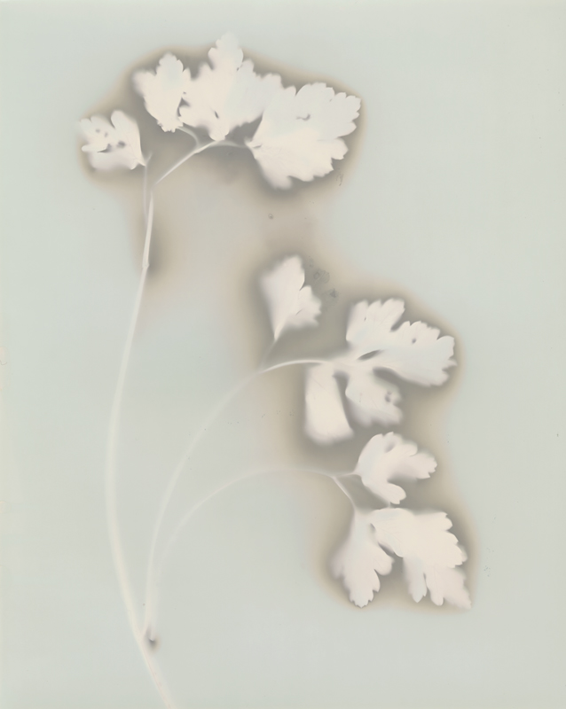 "Parsley No. 2, 2013. 8x10"" silver gelatin paper negative"