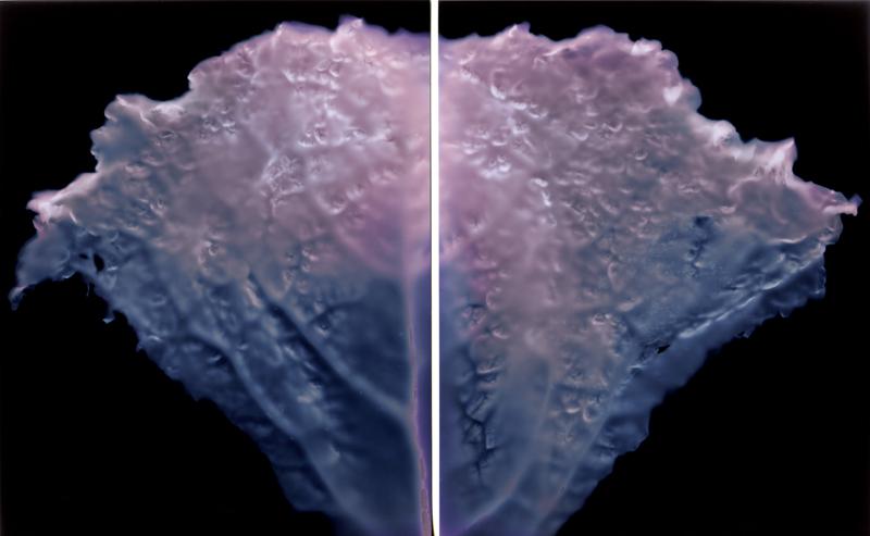 """Savoy Cabbage (Diptych), 2013. 5x4"""" silver gelatin paper negatives"""
