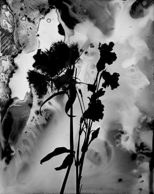 """Vernonia Altissima No. 2, 2013. 8x10"""" silver gelatin paper negative"""