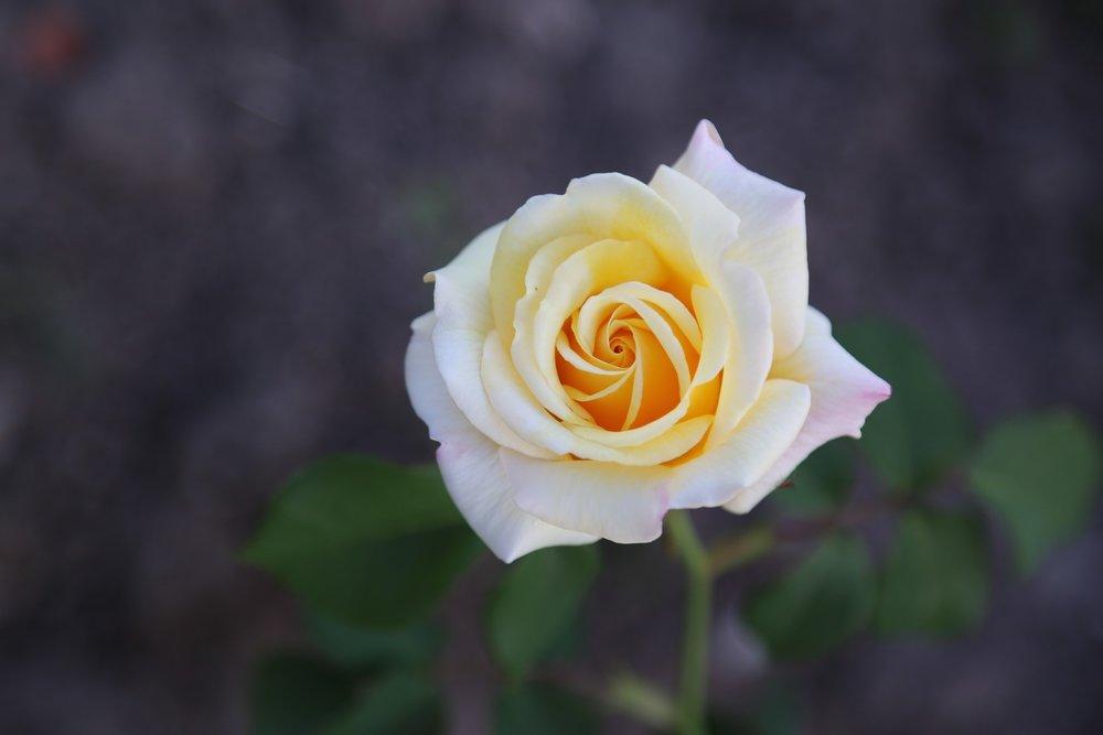 Ramsden's Rose Cup -