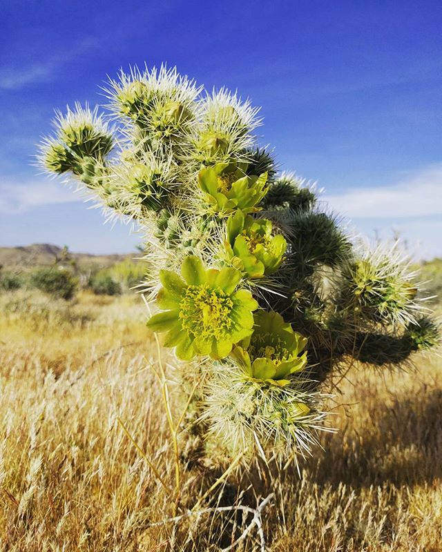 🌺 . . . . . #joshuatree #joshuatreenationalpark #cactus #flowers #nature #california #blue #green #earth #easter