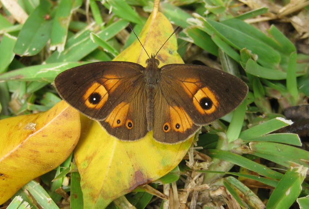 Mauritius-Henotesia-narcissus-05-e1412808359490.jpg