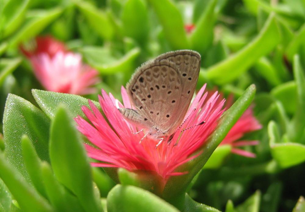 Lanzarote-African-Grass-Blue-04-e1412808520410.jpg
