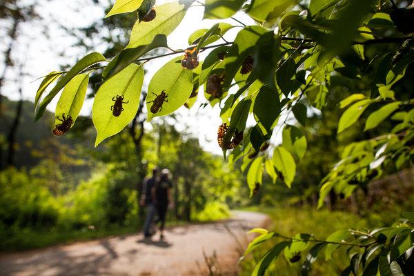 cicadas-articleLarge