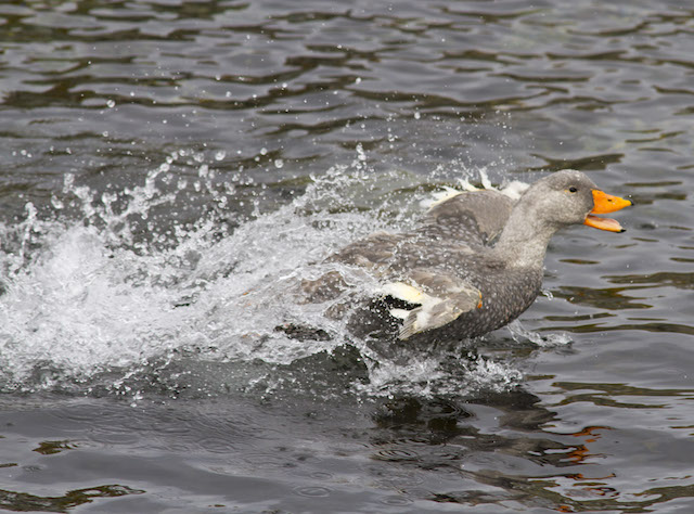 Steamer duck