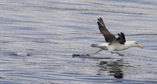 black browed albatross, beagle channel