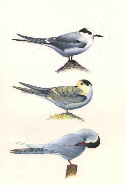 On Mousa, much variation can be seen in the appearance of Arctic Terns – from top, a first-summer plumaged bird on a drizzly day in spring, a juvenile on a summer's evening and an adult in early autumn.