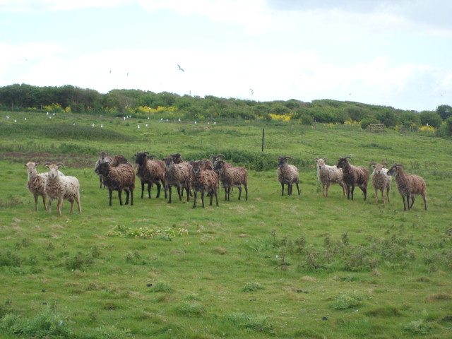 Flat Holm Soay Sheep
