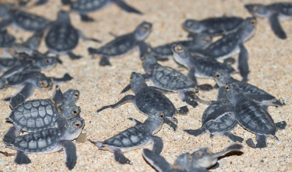 green turtle hatchlings emerging