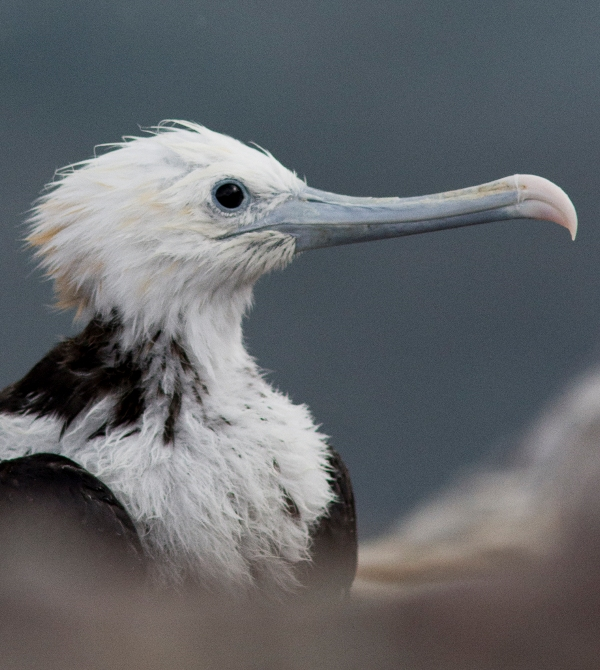 Ascension Island frigate bird