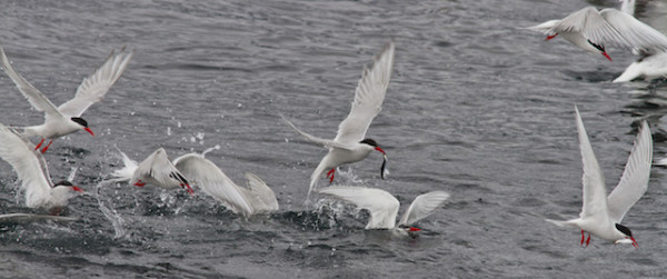 south american terns, beagle channel