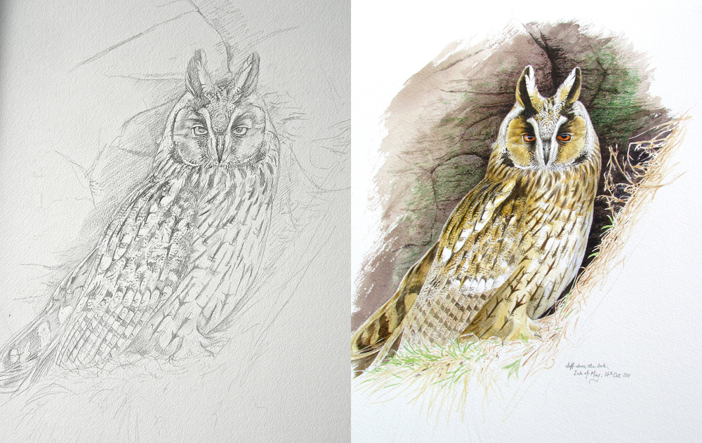 Long-eared owl, sketch and painting