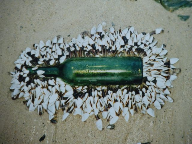 Goose_barnacles_on_a_bottle..jpg